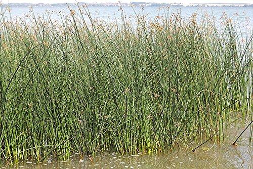 Große Teichsimse (Schoenoplectus lacustris) im Topf Filterpflanze Teichpflanze Teichpflanzen Teich