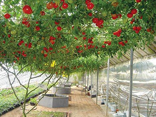 1 Paquet professionnel Graines de tomate Accrobranches de tomate Graines de haute qualité Balcon fruits en pot Graines de légumes -50 Particules