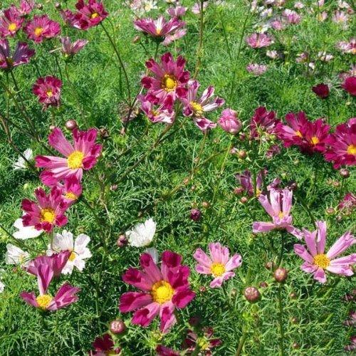 20 PCS rose Graines Rose fleurs romantiques Graines de fleurs