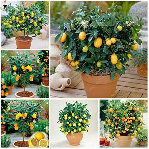 YOUPANGPANG 10 stks/zak Eetbare Fruit Meyer Citroen Planten Exotische Citrus Bonsai Citroenboom Verse Planten voor Thuis Tuin Decoratie