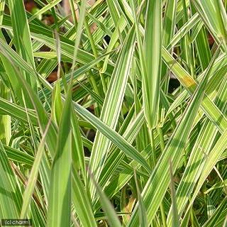 (ビオトープ)水辺植物 斑入りクサヨシ(1ポット) 湿性植物 (休眠株)