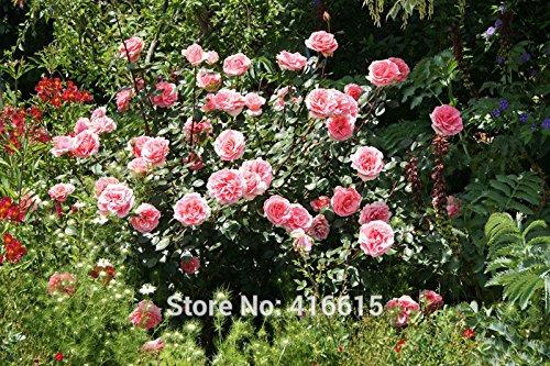 100 Heritage Rose Pink Rose Seeds David Austin moderne Rose Fleur Bonsai Jardin Plantes Graines