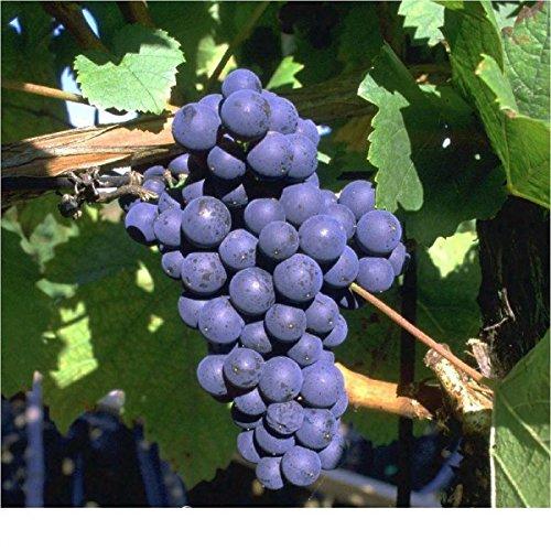 Venus, pilzfeste Weinrebe, blau, kernlose Beeren, im Topf