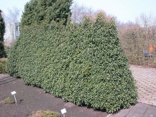 Jean Huchet Plantes - Prunus Lusitanica Angustifolia , Lot de 15 plantes en godet