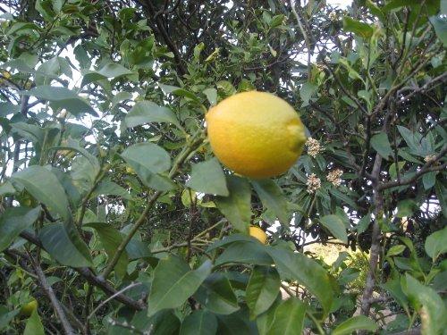 2020年新物【農家さん直送】贈答用に最適高知県産いちえん農場国産レモン 無農薬レモン1�s