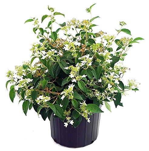 Viburnum p. t. 'Summer Snowflake' (Doublefile Viburnum) Shrub, white flowers, #2 - Size...