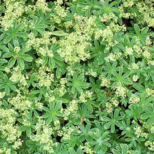 4 x Alchemilla Alpina - Vrouwenmantel pot 9cm x 9cm