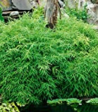 Rare Groundcover Bamboo Pot Evergreen, Dwarf Bamboo Tree Seed Ornamental Grass Seeds, Easy Grow Hardy Perennial for Bedding on Balcony/Patio 100pcs