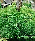 Rara copertura per terra in bambù Evergreen, Nano Albero di...