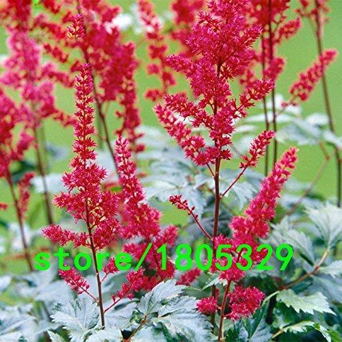 Vente Red Hot Astilbe Chinensis Graines Balcon Jardin Patio Plantes en pot Bonsai chinois Astilbe fleurs Graines 100PCS