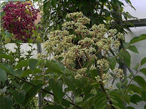 Euodia hupehensis - Bienenweide - Tausenblütenstrauch - Tausendblütenbaum - Honigesche