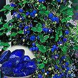 TENGGO 500Unids Fresa Azul RARA Fruta Semillas de Hortalizas Bonsai Comestible Plantas Trepadoras de Jardín