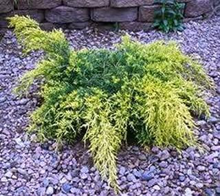 Gold Lace Spreading Juniper - Live Plant - Trade Gallon Pot