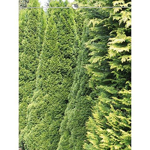 Lebensbaum Thuja Smaragd 160-180 cm. Angebot: 8 Koniferen. Thuja occidentalis Smaragd Heckenpflanze. Winterhart und Pflegeleicht. Immergrüne Lebensbaum. Thujahecke als Sichtschutz | Inkl. Versand