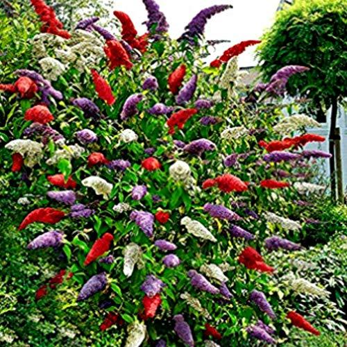 Acecoree Samen- Schmetterlingsflieder Samen Buddleia Blumensamen Blütenspitze exotische Blumen winterhart mehrjährig für Balkon/Garten