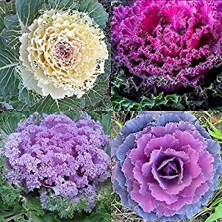 ornamental cabbage plants for sale