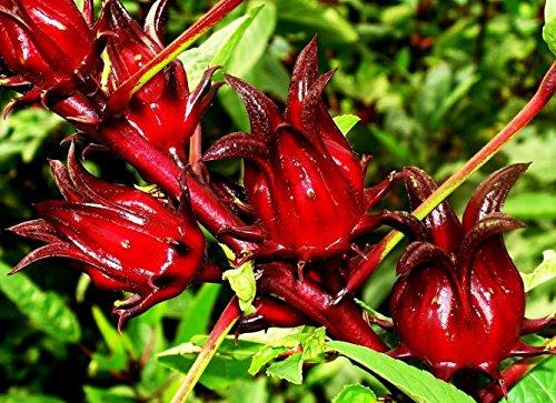 100 Samen Hibiscus sabdariffa, Roselle, Karkade, lecker als Tee oder im Sekt