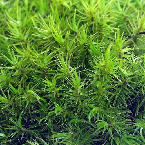 (観葉植物)苔 シッポゴケ 1パック分