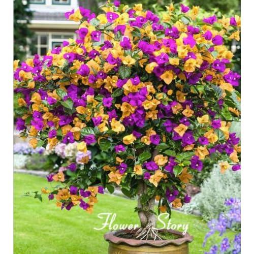 M-Tech Gardens Rose Gardens Miniature Bougainvillea Seeds Balcony Pot Flower Plant, Mix-colour -Set of 40 seeds