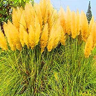 ETIAL Egrow 200Pcs Pampas Grass Seed Potted Purple Pampas Grass Garden Ornamental Plants - Purple (Yellow)