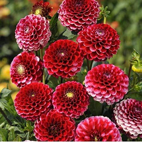 Qulista Samenhaus - 50pcs Rarität Pompon-Dahlie granatrot/blassrosa/orange/Mischung, lange Blütezeit, Blumensamen Mischung winterhart mehrjährig gut für den Vasenschnitt