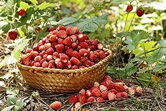 Amazon.es: Fresas silvestres