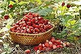 Fresa silvestre'Mignonette' fresa de bosque, fresa alpina, fresa de los Cárpatos, fresa europea, fraisier des bois - semilla