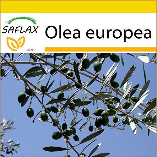 SAFLAX - Anzucht Set - Ölbaum - 20 Samen - Mit Mini-Gewächshaus, Anzuchtsubstrat und 2 Töpfen - Olea europea