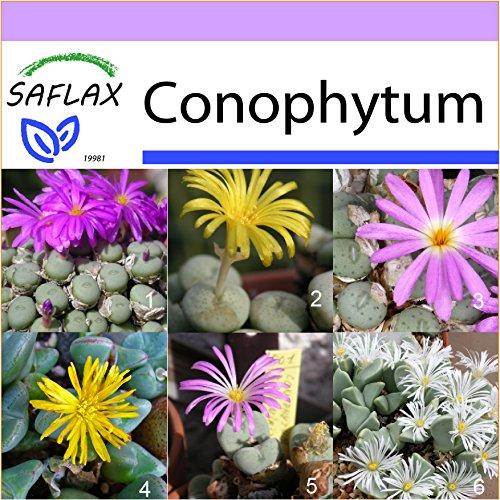 SAFLAX - Sukkulenten - Blühende Steine/Conophytum Mix - 40 Samen - Conophytum Mix