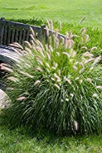 Fountain Grass - 100 Seeds, Pennisetum Alopecuroides 'Hameln' Dwarf Fountain Grass, Ornamental Grass