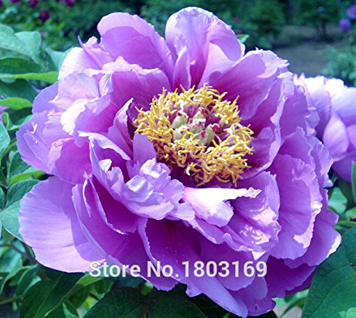 20 graines / Pack, Double Light Blue Arbre pivoine, graines 'Noble' Rare pivoine Arbre Bonsai Plante