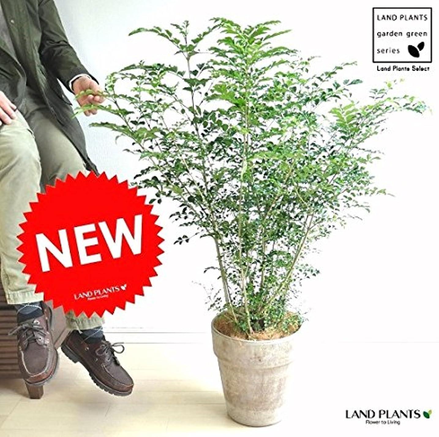 エッセイ余裕がある漫画LAND PLANTS シマトネリコ イタリアンテラコッタ鉢