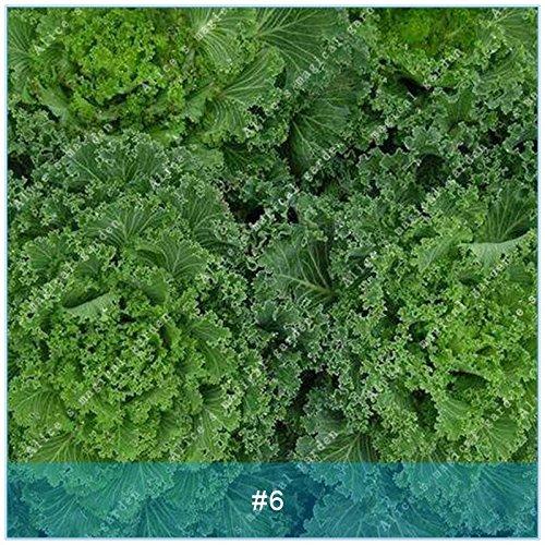 ZLKING 100pcs Kale Semences potagères Graines Bonsai plantes non Ogm géants Graines de légumes biologiques exotiques Plantes ornementales Jardin 6