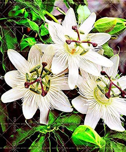 Shopmeeko 10 STÜCKE Blaue Passionsblume (Passiflora incarnata) Passionsfrucht Bonsai Tropische Blume Zimmerpflanzen Für Hausgarten: 8