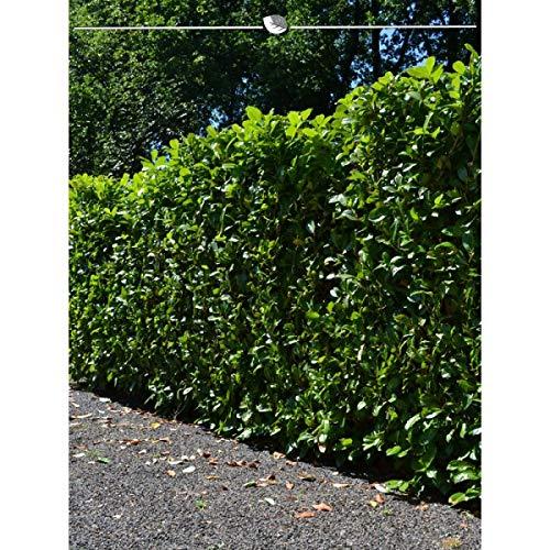 Kirschlorbeer Novita 180-200 cm. Angebot: 5-100 Heckenpflanzen. Prunus laurocerasus Novita; immergrün & schnellwachsend. Großes Blatt. Pflegeleicht. Lorbeerkirsche als Sichtschutz Hecke | Inkl Versand
