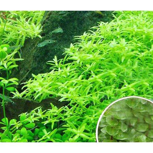 (水草)グリーンロタラ(無農薬)(5本)+おまけロタラ3本 本州・四国限定[生体]