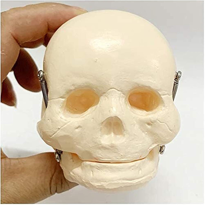 Fetal Limited price sale Skull Model Anatomy Medical Foetal Skel 2021 Infant