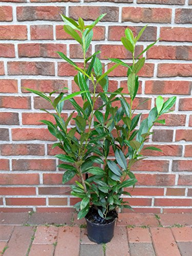 10 Kirschlorbeer Pflanzen, Höhe: 60-70 cm ab Topf, Prunus Caucasica