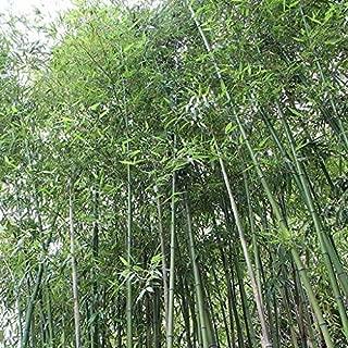 japanese bamboo seeds