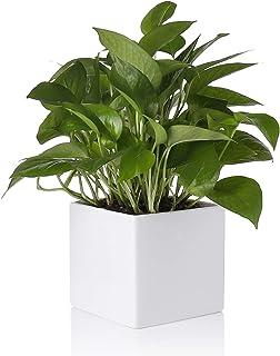 گلدان گیاه Greenaholics - سرامیک کاشت سرامیکی مربع 5.5 اینچ ، گلدان مخصوص گلدان ها و گیاهان با آب ، بدون سوراخ زهکشی ، سفید