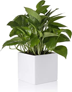 Greenaholics Plant Pot - 5.5 Inch Square Ceramic Planter, Pot for Succulents and Water Planting, with No Drainage Hole, White