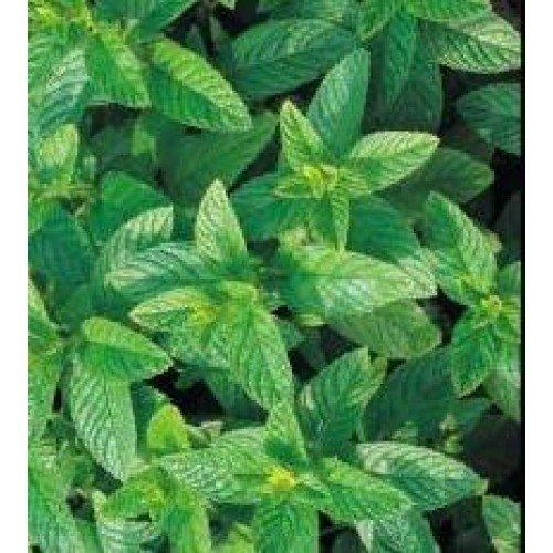 Herb Seeds - Spearmint - 10,000 Seeds by Nuts n' Cones