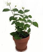 Jmbamboo- Gardens Maid of Orleans Arabian Tea Jasmine Plant 4'' Clay Pot