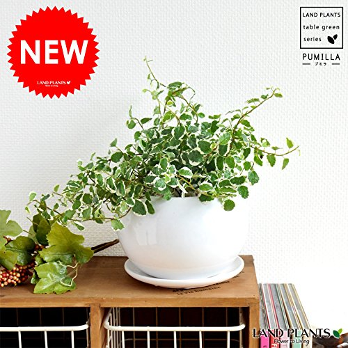 LAND PLANTS プミラ 白色丸型陶器 table green series