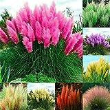 100 Pcs Pampas Mix Color Grass Seeds...