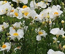 matilija poppy seeds