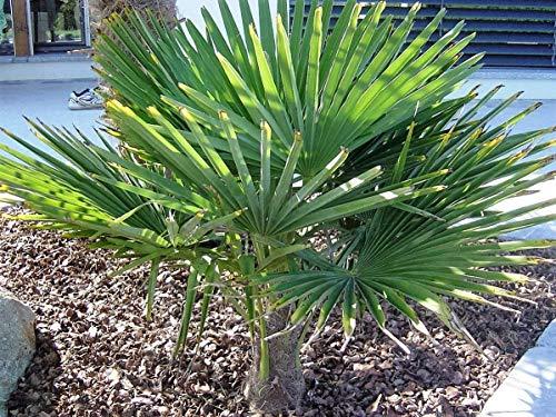 RARITÄT Frostharte Hanfpalme Trachycarpus Ukhrulensis Größe bis 120 cm. aus dem Gebirge von Manipur bis - 20 Grad