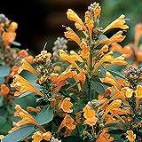 Park Seed Arizona Sandstone Hummingbird Mint, Agastache, Flower Seed, Garden Seed, Perennial