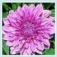 ダリア球根 - 紫色の美しい植物の花の装飾、非常に珍しい園芸ダリア,8球根