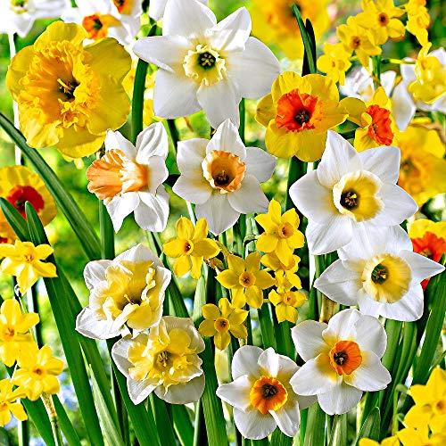 15x Narcissus | Duftende Narzissenzwiebeln | Mischung aus weiß-orange-gelben Blüten | Frühblühende Zwiebeln | Mehrjährige blühende Pflanzen | Ø 10-12cm